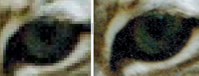 Photo of two Bobcat eyes when enlarged from 150 and 600 dpi scans